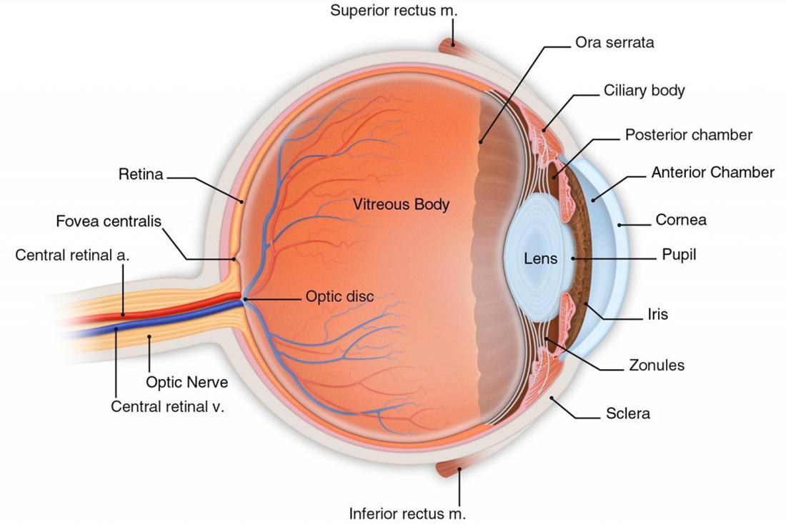 Das menschliche Auge im Querschnitt